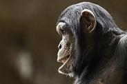 Young Chimpanzee Side Profile