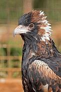 Black-breasted buzzard (captivity).