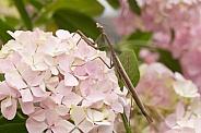 Praying Mantis (wild)