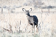 Wild mule deer in a field