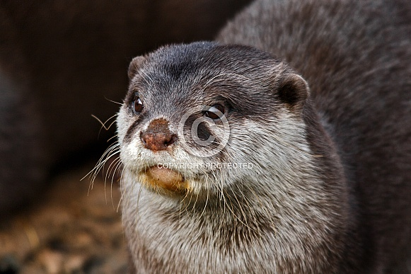 Asian Short Clawed Otter Close up