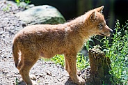 Wolf Cub / pup