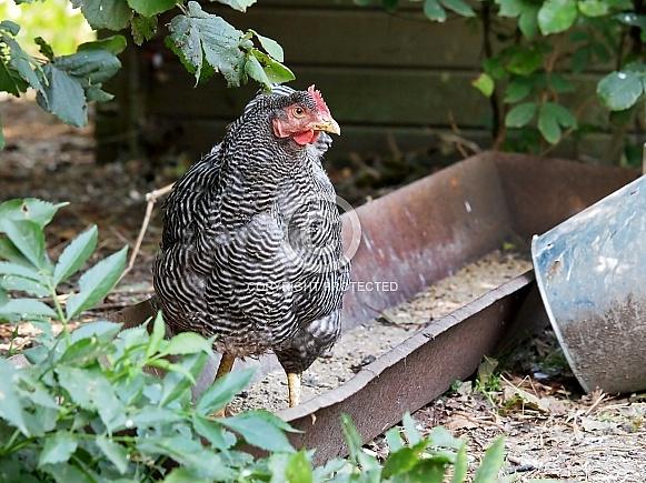 North Holland Blue Chicken