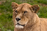 African Lioness Face Shot