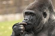 Western Lowland Gorilla Close Up