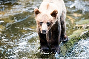 Wild grizzly bear cub in Alaska