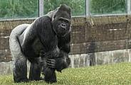 Western Lowland Gorilla Silverback Full Body