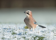 Eurasian Jay in Snow