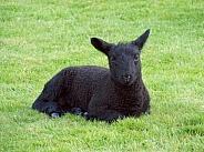Black Lamb