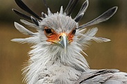 secretary Bird Close up
