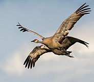 Sandhill Crane Pair Flying