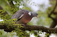 A ringdove on a tree branch