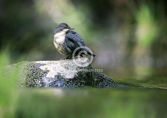Dipper Juvenile