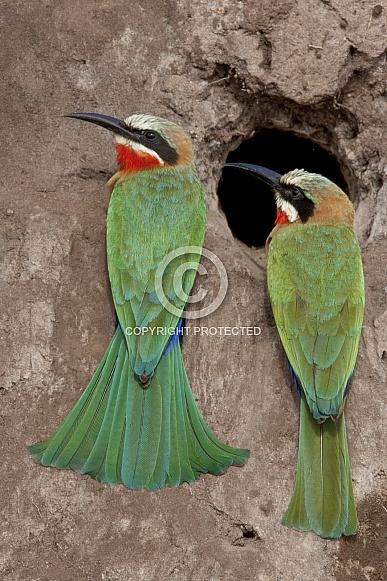 Whitefronted Bee-eaters - Botswana