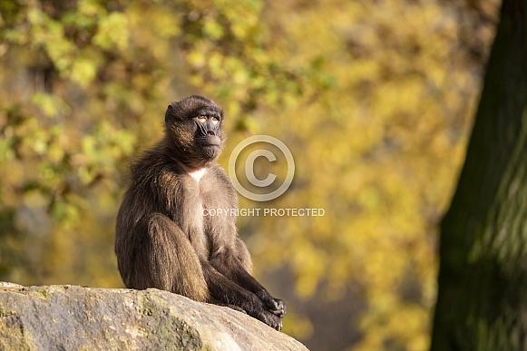 Gelada monkey (Theropithecus gelada)