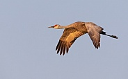 Sandhill Crane Flying During The Golden Hour