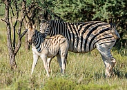 Burchell's Zebra mother and foal