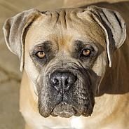 A Mastiff dog, close up