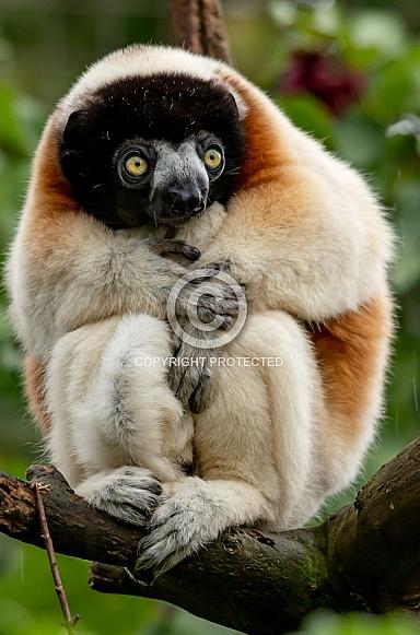 Crowned Sifaka Lemur