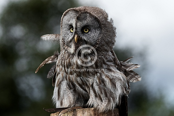 Great Grey Owl Full Body Front On Ruffled Feathers