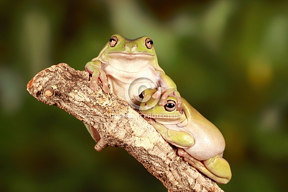 Australian Green Tree Frog friends