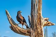 Harris Hawk on Dead Saguaro
