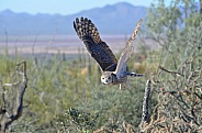 Great-Horned Owl in Flight