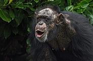 Chimpanzee Vocalising Mouth Open Shouting