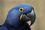 Macaw (Anodorhynchus hyacinthinus)