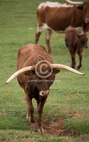 Bos taurus, Texas long horned cows