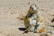 Pregnant Prairie Dog