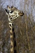 Rothschild Giraffe Close Up
