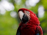 Scarlet macaw (Ara chloropterus)
