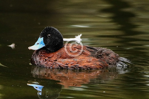 Blue-billed Wood Duck