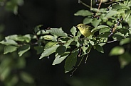Yellow Warbler in Alaska during Autumn