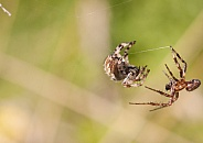 Orb weaver male and female. Spiders.
