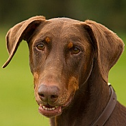 Brown Doberman Pinscher
