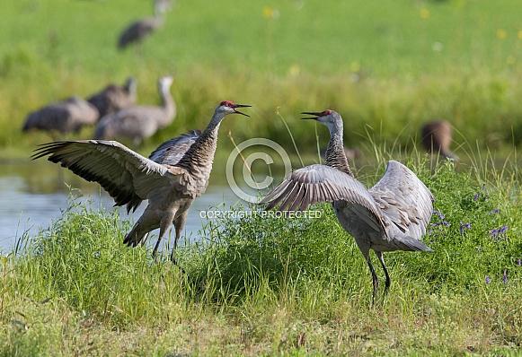 Sandhill Crane Pair Dancing