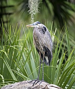 Great blue heron standing in a swamp