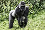 Western Lowland Gorilla Full Body Shot