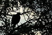 Moorhen in silhouette