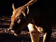 Lioness Twilight