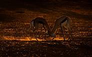 Backlit Springbok
