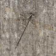 Flat wing Damselfly.
