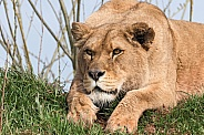 African Lioness Lying On Hill Crouched Ready For Action