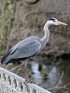 Grey Heron (cinerea ardea)