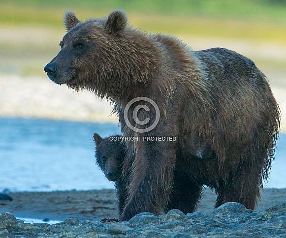 Wild Mother Brown Bear cubs in Alaska