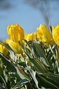 Bellona design tulip