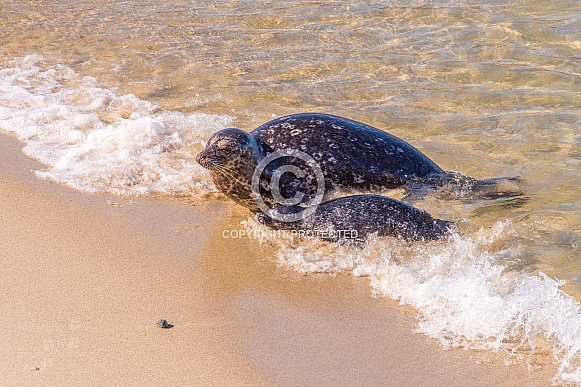 Harbor Seal with Pup in the Beach Surf