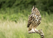 European Eagle Owl Perched